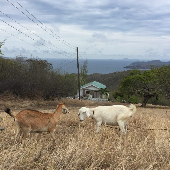 Goats at Mount Pleasant